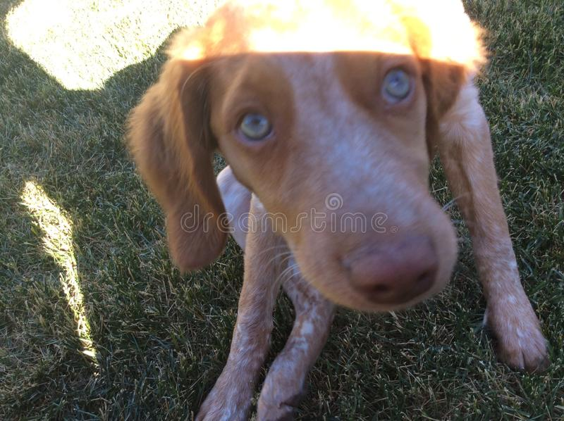 Brittany Spaniel 6 semaines photographie stock