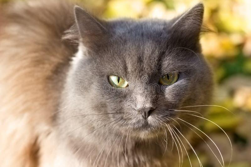Brittisk det fria för ilsken missnöjd grå katt, stående utomhus royaltyfria bilder