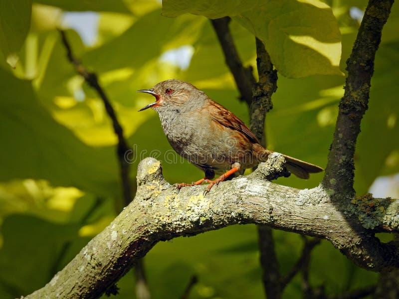 Brittisk dunnockfågel som sjunger i trädöverkant arkivfoto