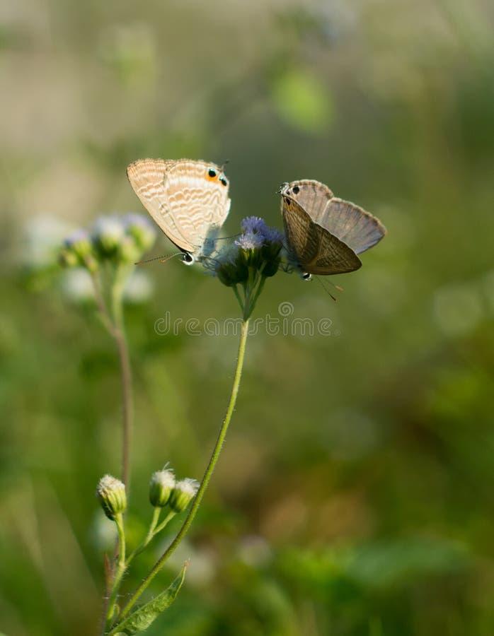 Brittisk fjäril två på ageratumblomman arkivfoton