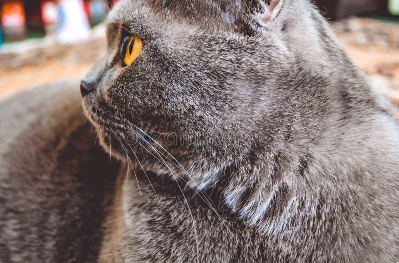 Brittisk grå kort-haired katt Avel ashy färg Gulingen synar royaltyfri fotografi
