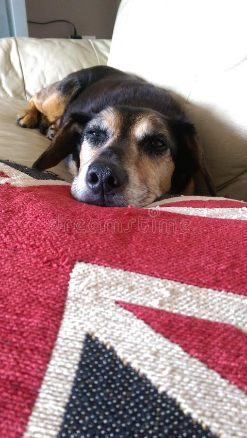 Brittisk hund arkivbild
