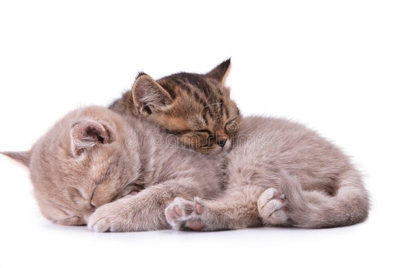 brittisk isolerad white för kattungar två fotografering för bildbyråer