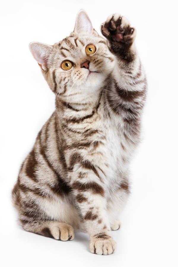 brittisk katt arkivbild