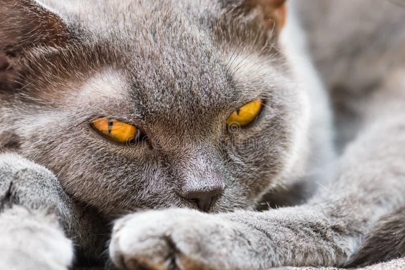 brittisk katt arkivfoto