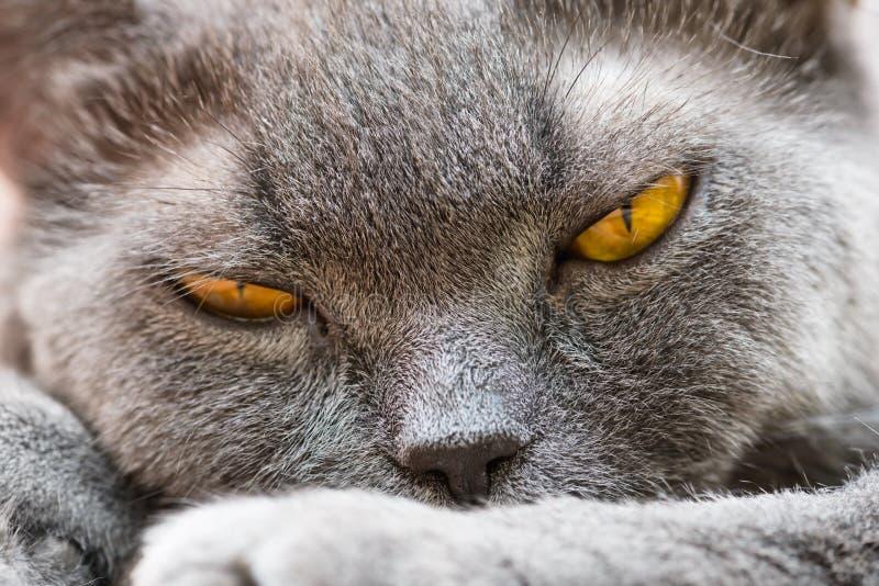 brittisk katt royaltyfri bild
