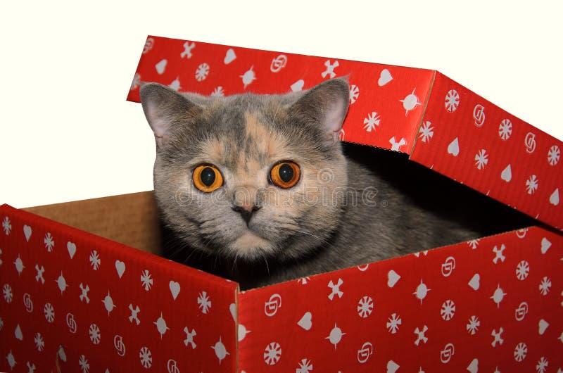 Brittisk katt i en röd gåvaask arkivbild