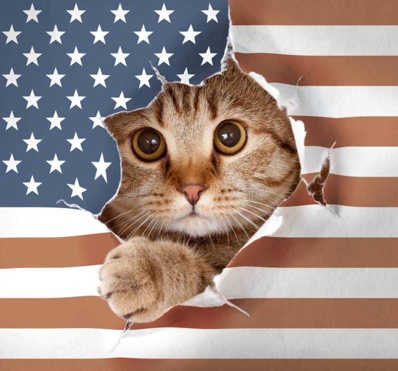 Brittisk katt som ser upp till och med hålet i den pappersUSA flaggan royaltyfri fotografi