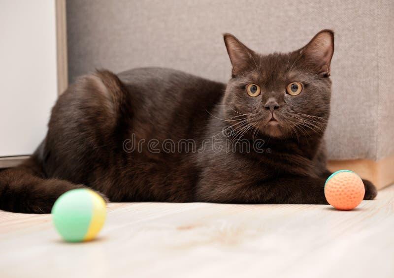 Brittisk katt som spelar bollen arkivbilder