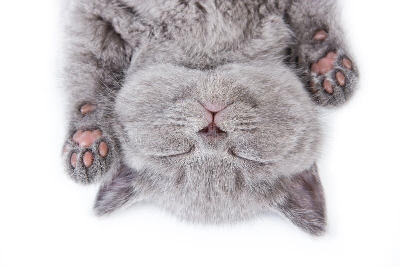 brittisk kattunge arkivbild