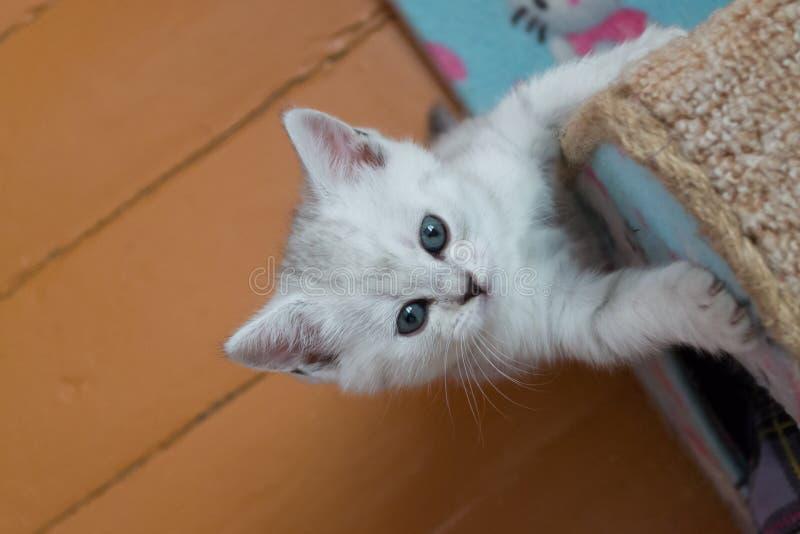 Brittisk kattunge för nätta vitgrå färger som hänger på katthus och ser upp arkivfoton