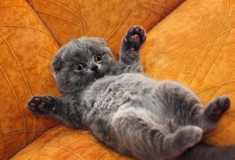 brittisk kattungeshorthair fotografering för bildbyråer
