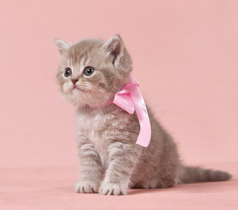 brittisk kattungeshorthair royaltyfria foton