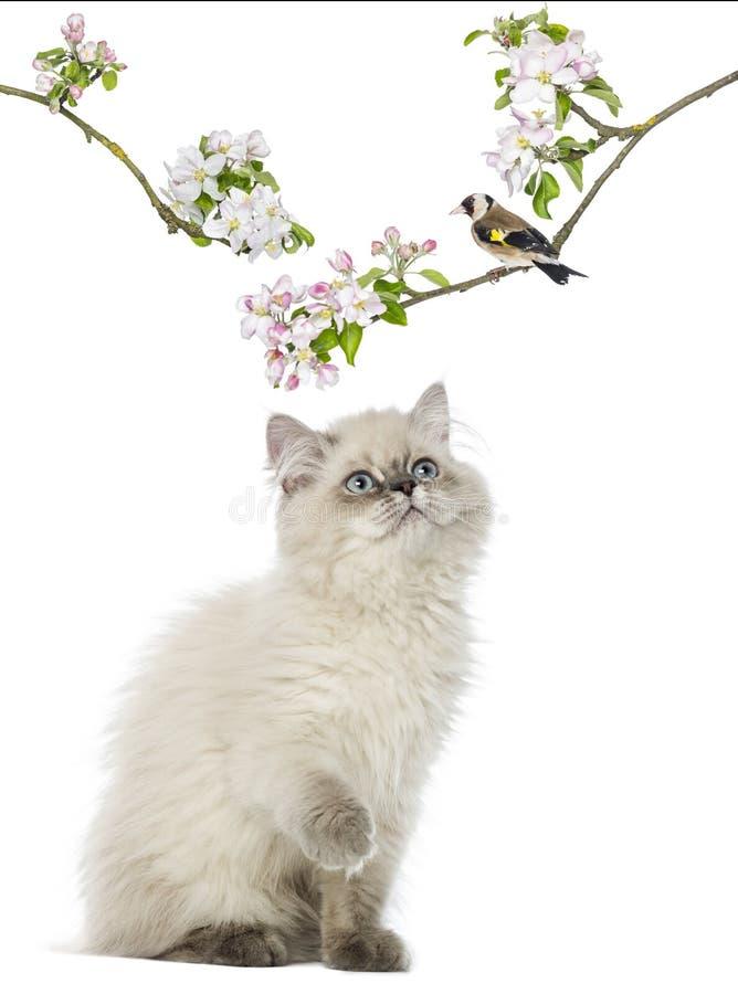 Brittisk Longhair kattunge som ser upp på sätta sig för fågel royaltyfri fotografi