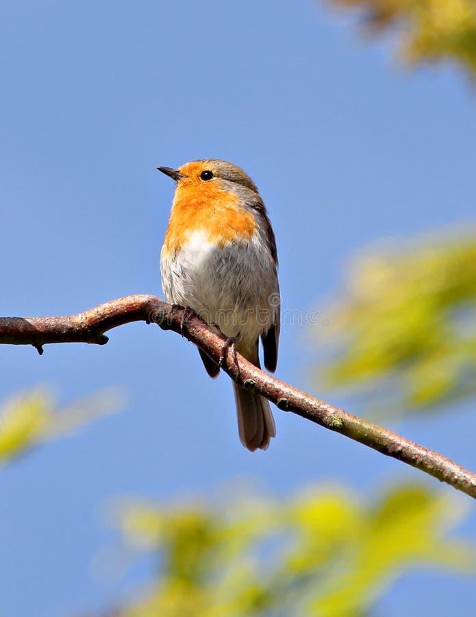 brittisk robin fotografering för bildbyråer