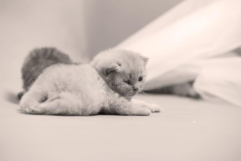 Brittisk Shorthair blåttkattunge som netto vilar på en vit arkivfoton