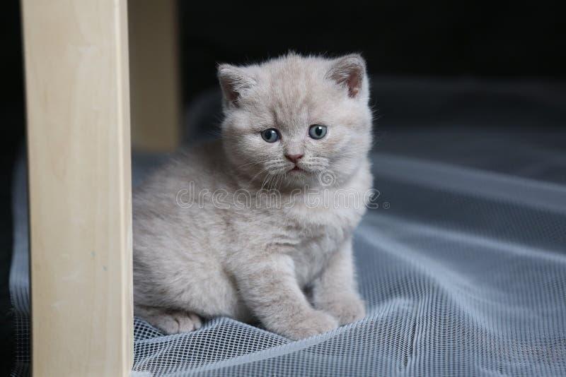 Brittisk Shorthair blåttkattunge som netto vilar på en vit fotografering för bildbyråer