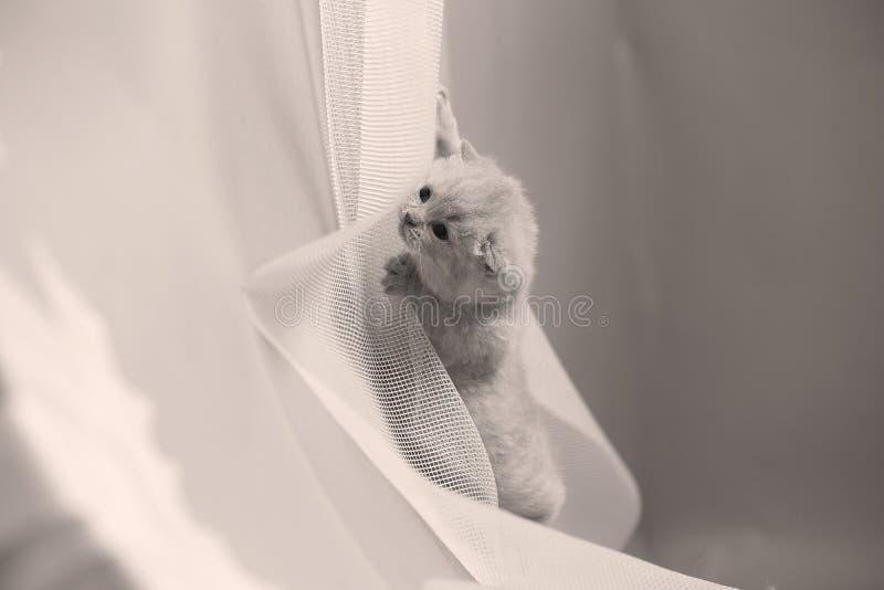 Brittisk Shorthair blåttkattunge som netto vilar på en vit royaltyfri fotografi