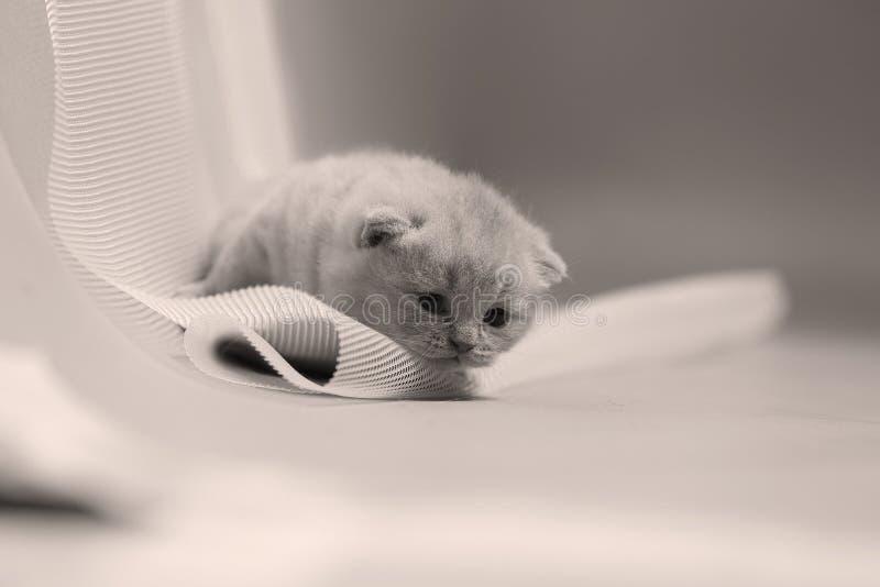 Brittisk Shorthair blåttkattunge som netto vilar på en vit royaltyfri bild