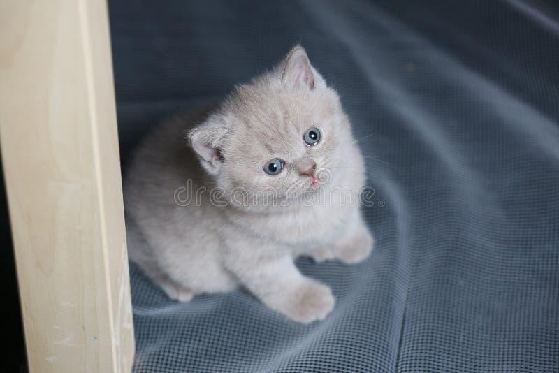 Brittisk Shorthair blåttkattunge som netto vilar på en vit arkivbilder