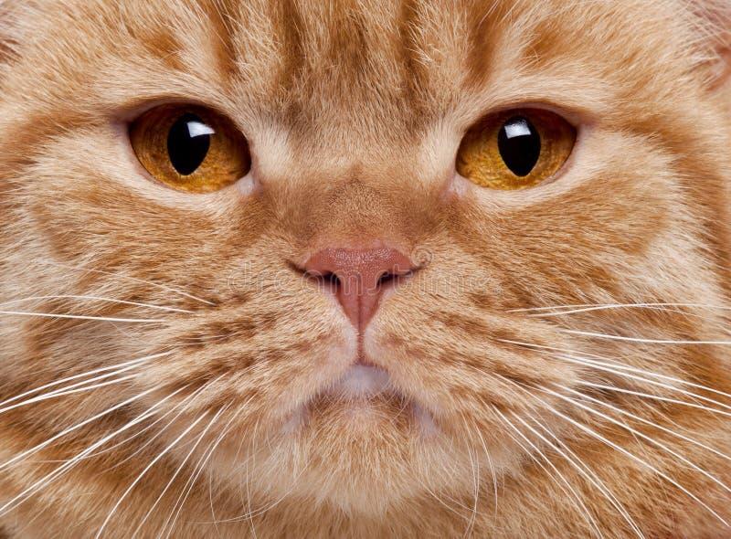 brittisk shorthair för kattcloseframsida s upp royaltyfria bilder
