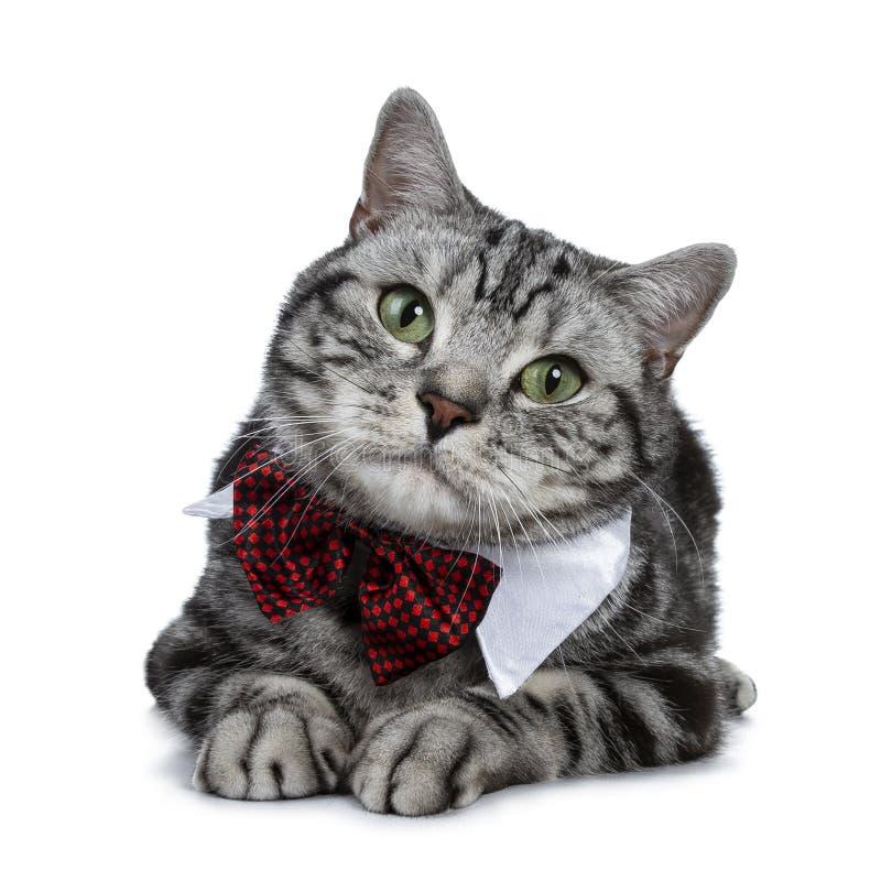 Brittisk Shorthair för stilig svart silverstrimmig katt som katt dräpar ner att bära en vit krage för stor festparti med den röda royaltyfria bilder