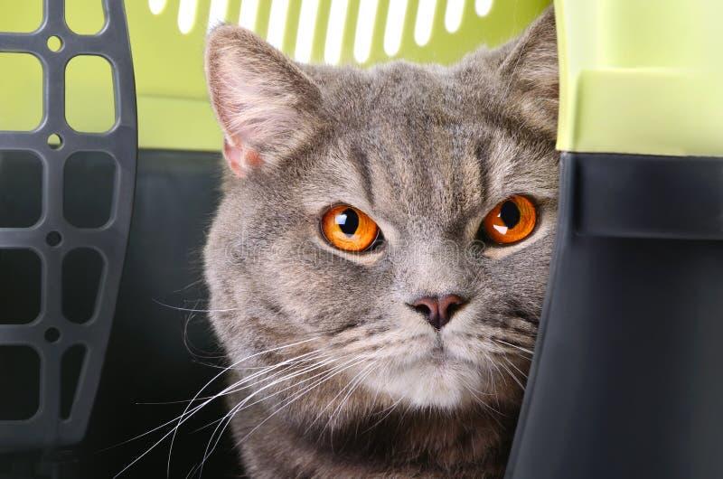 Brittisk Shorthair katt arkivbild