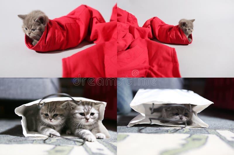 Brittisk Shorthair kattunge i en påse och i ett par av röd jeans, raster för raster 2x2 arkivbilder