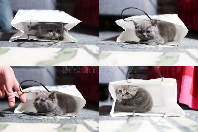 Brittisk Shorthair kattunge i en påse, raster 2x2 royaltyfri bild