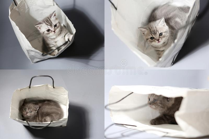 Brittisk Shorthair kattunge i en påse, raster 2x2 arkivfoto