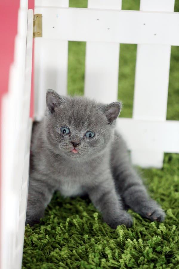 Brittisk Shorthair kattunge som sitter på grönt gräs, vitt staket arkivbild