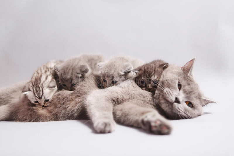 Brittisk Shorthair moder med kattungar royaltyfria bilder