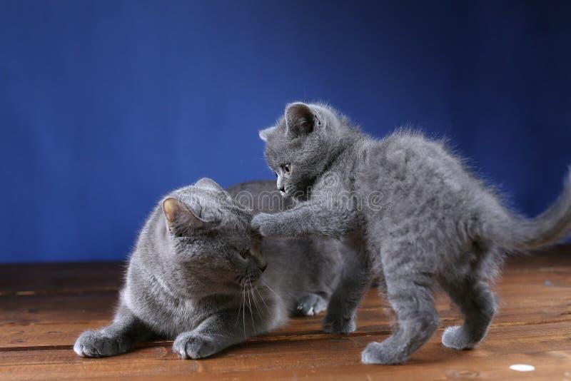 Brittisk Shorthair moderkatt som spelar med hennes kattunge, isolerad stående royaltyfri fotografi