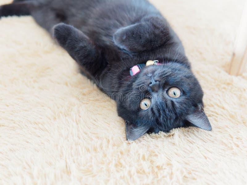 Brittisk shorthairkatt för gullig svart strimmig katt med gula ögon som ligger på vit matta för päls och ser kameran arkivbild