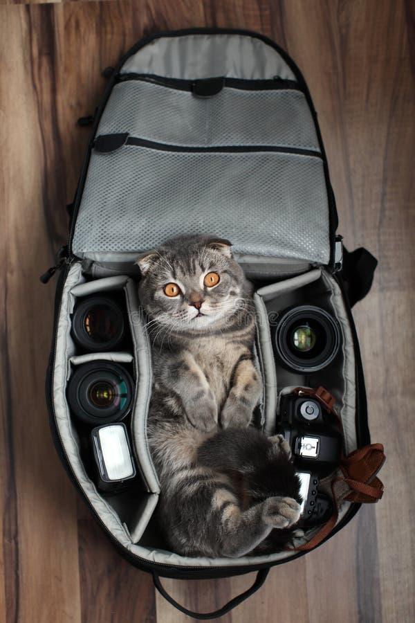 Brittiska Shorthair en katt i en fotopåse arkivbilder