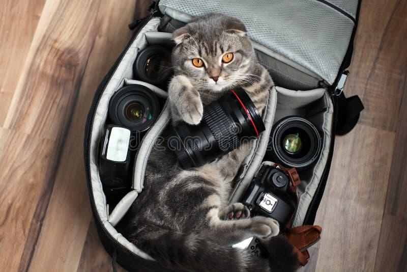 Brittiska Shorthair en katt i en fotopåse arkivfoton