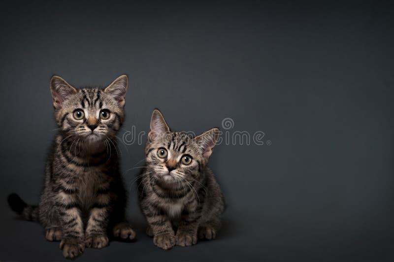 Brittiska Shorthair kattungar royaltyfri foto