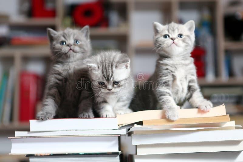Brittiska Shorthair kattungar och böcker royaltyfri foto