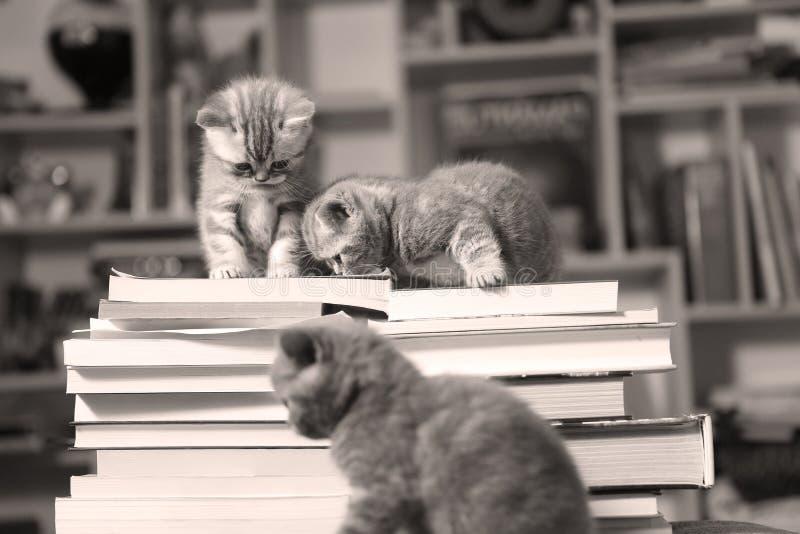 Brittiska Shorthair kattungar och böcker arkivbild