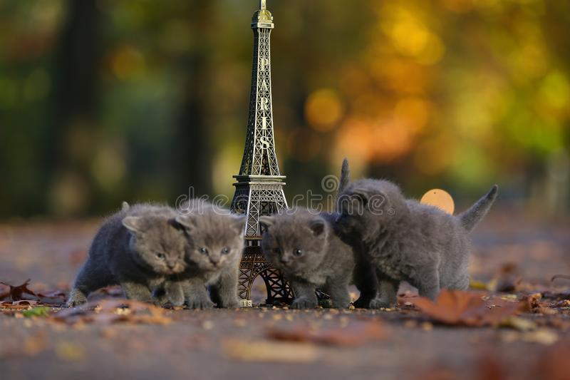 Brittiska Shorthair kattungar och turnerar Eiffel royaltyfria foton