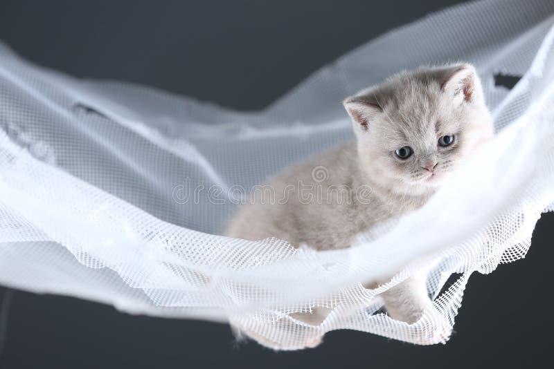 Brittiska Shorthair kattungar på en vit förtjänar, den gulliga ståenden arkivfoton