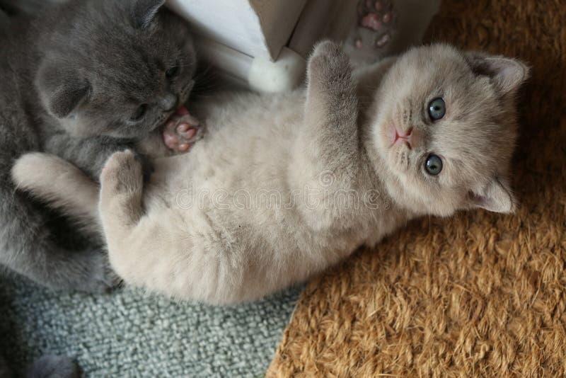 Brittiska Shorthair kattungar som ligger på dörrmattan royaltyfria bilder