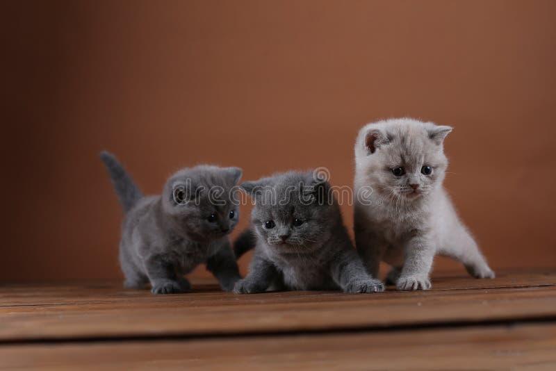 Brittiska Shorthair kattungar som spelar på en träbakgrund royaltyfria bilder
