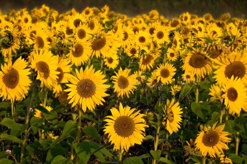 Brittiska solrosor, Whitehouse gräsplan, Berks royaltyfri foto