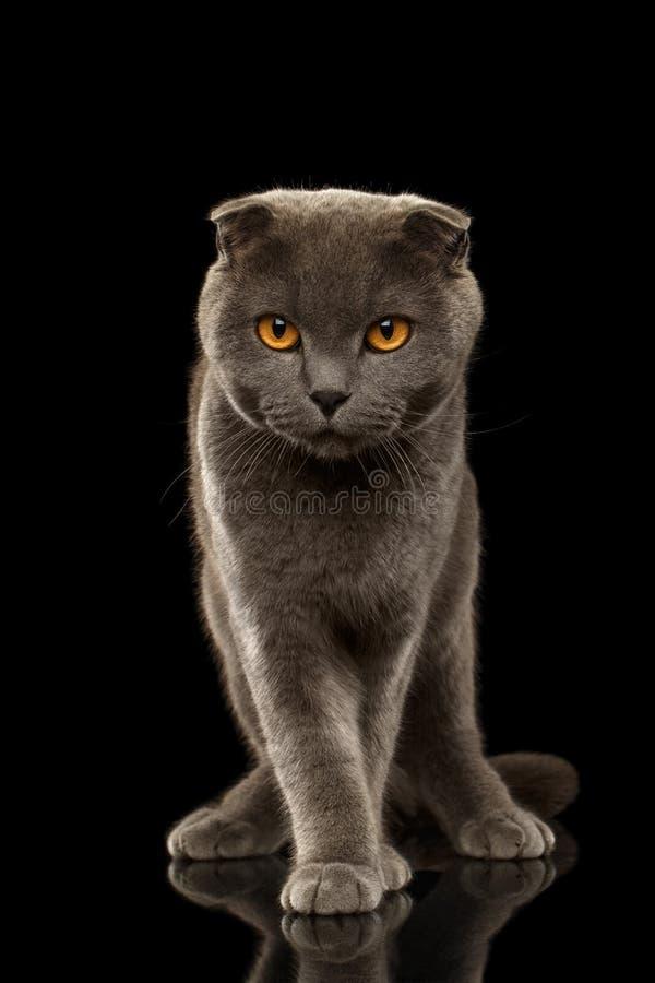 Brittiskt veck Cat Funny Stands på den svarta spegeln arkivfoto