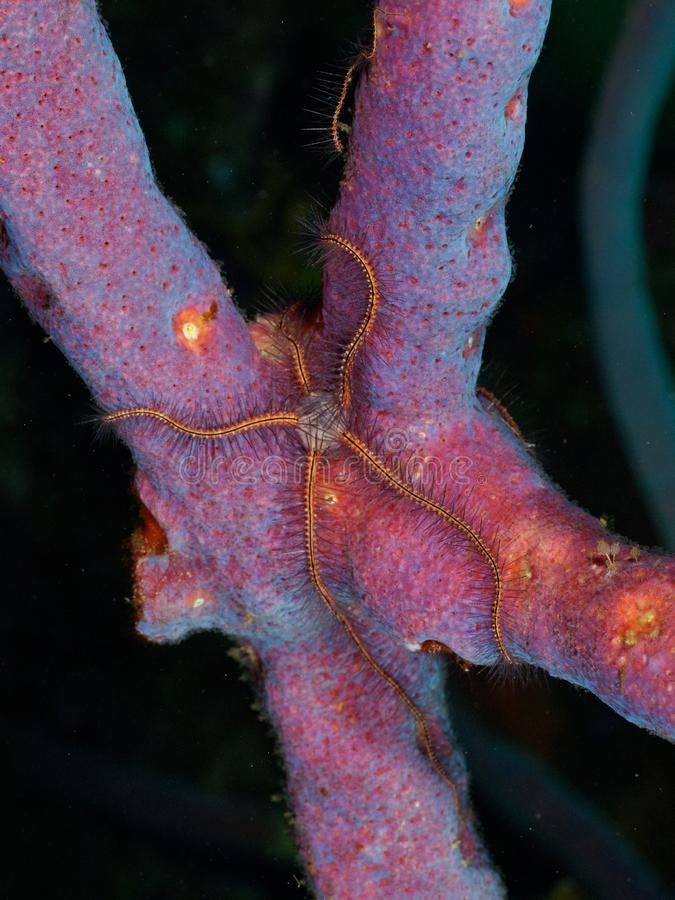 Brittle Star on Purple Sea Rod royalty free stock photo