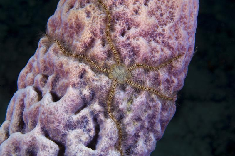 Brittle star and tube sponge on coral reef in the Caribbean stock image