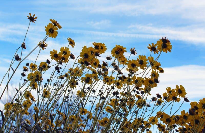 Brittlebush uner blue sky,  Anza Borrego Desert State Park royalty free stock image