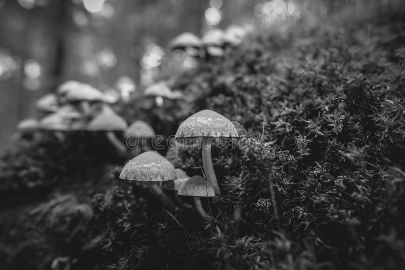 Brittlestem pâle sur le bois mort couvert de mousse - noir et blanc photos libres de droits