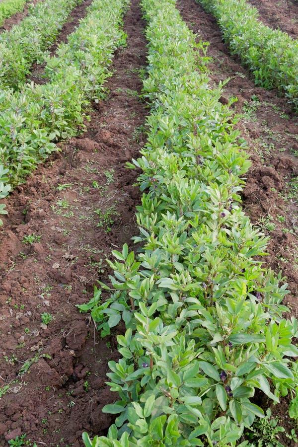 broad bean field royalty free stock photos
